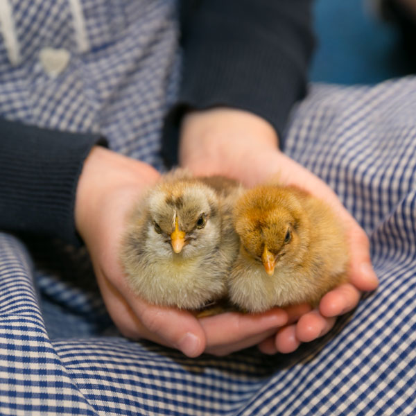 Baby Chicks Image